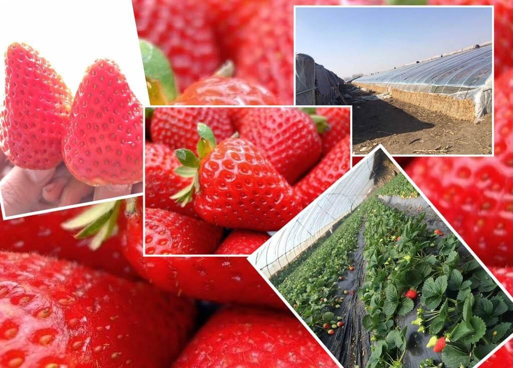 四川省凉山州德昌县麻粟镇草莓基地土壤改良项目