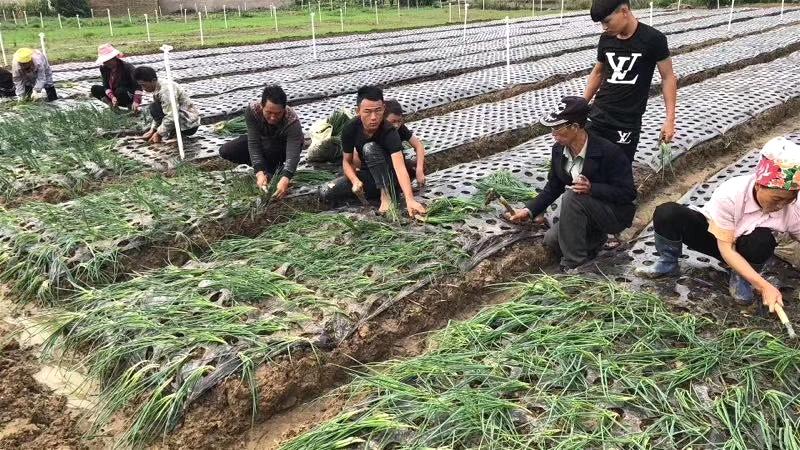 德昌供港小葱今日正式开始栽种 期待50天后的丰收!